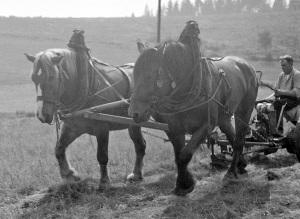 Landwirtschaft in Buntenbock i. Oberharz, Sommer 1957